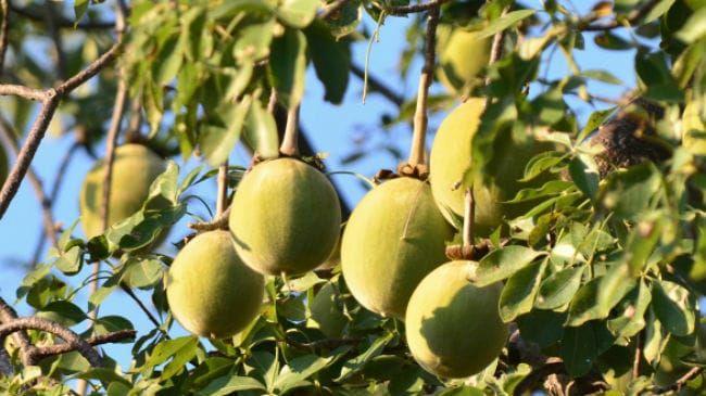 Baobab Fruit On Tree
