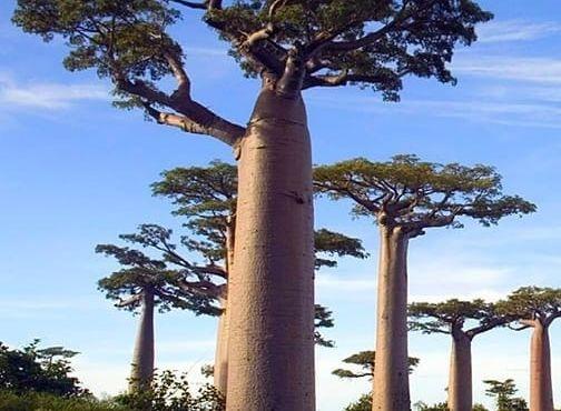 Baobab Tree 20150720143658